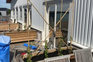 Vårfint på balkongen. Planterat en Bokharabinda